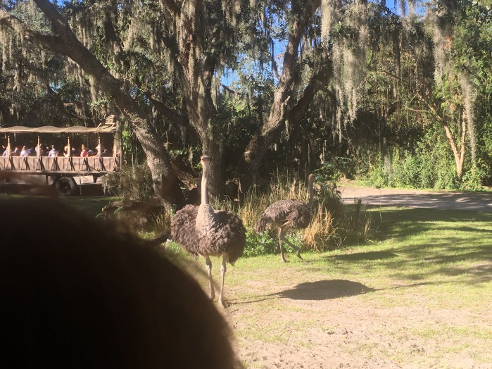 Emus look at us.