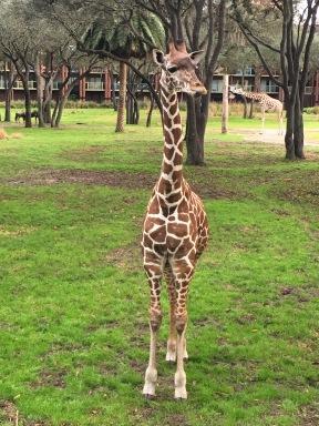 We saw a baby giraffe!